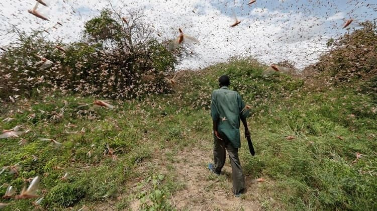 Langostas en África